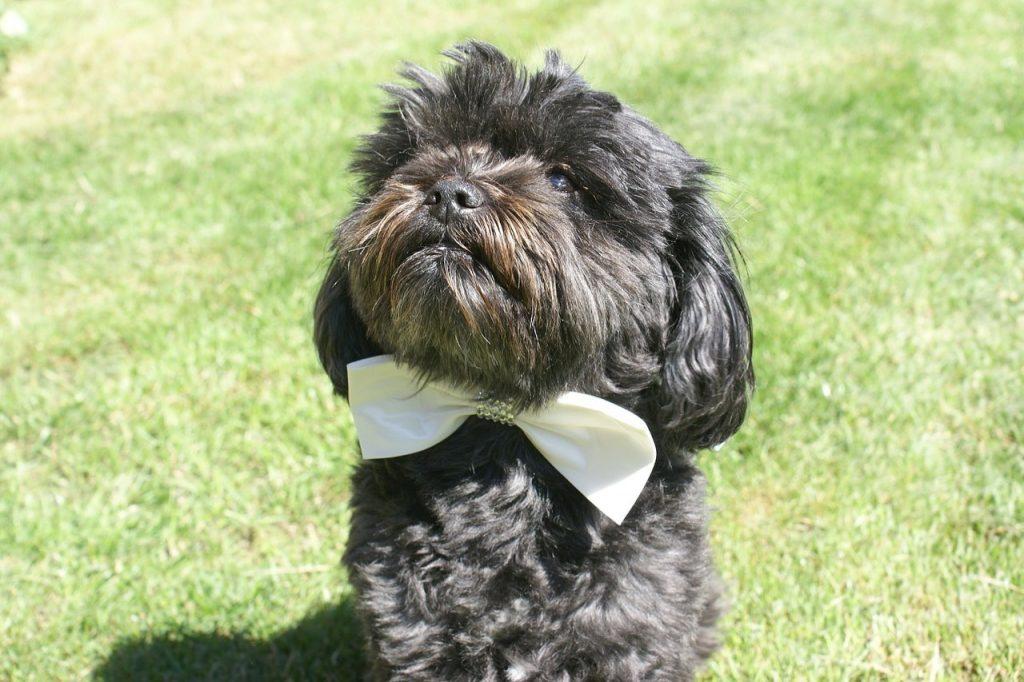 Ubranie dla psa na ślub
